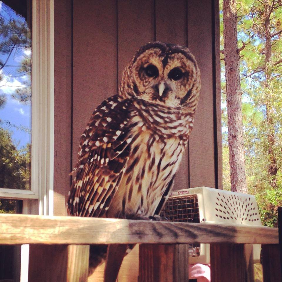 barred owl visiting RHEC.jpg