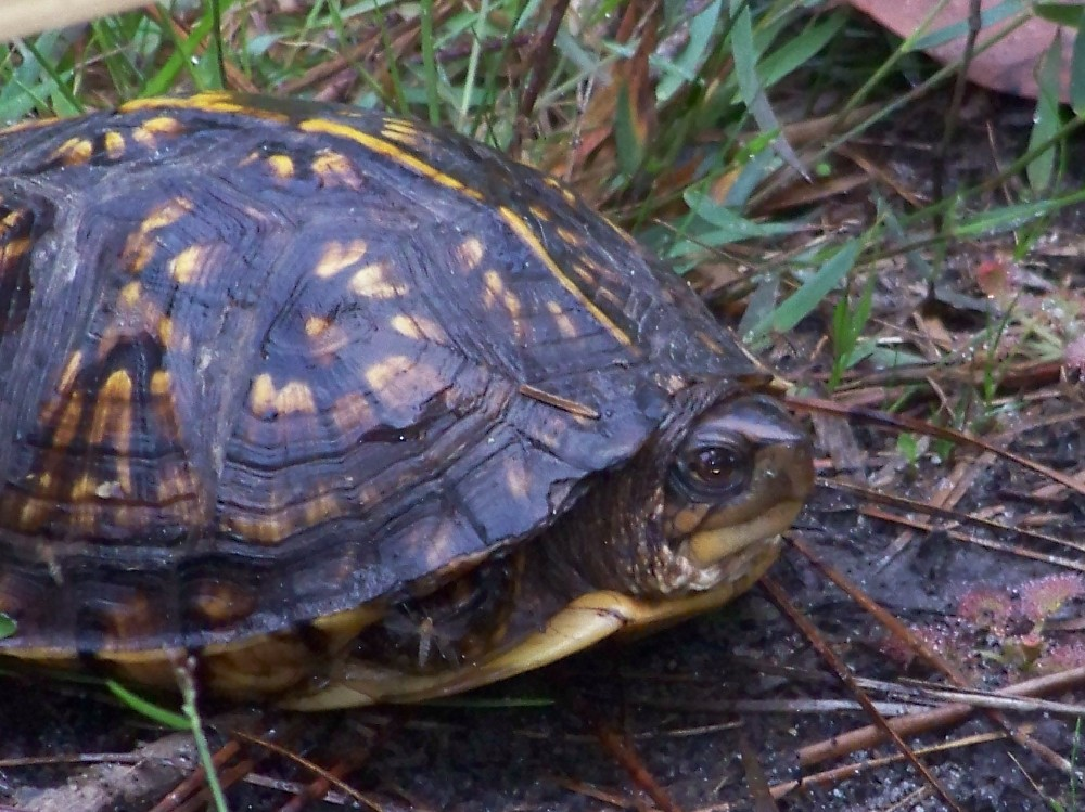 Box turtle stopping by for a visit!