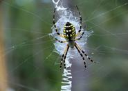 yellow and black garden spider.jpg